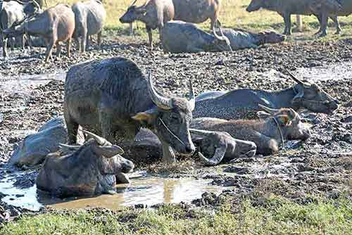 buffalo and lots of flies-AsiaPhotoStock