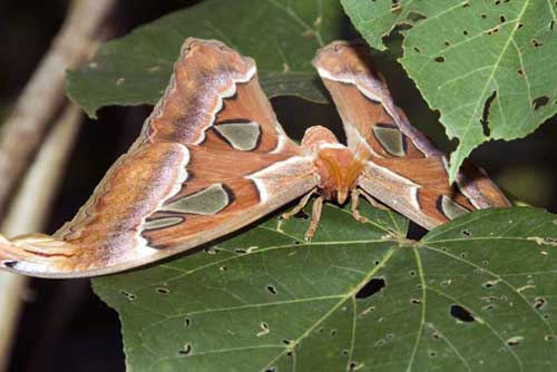 atlas moth singapore
