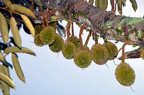 very small durians-AsiaPhotoStock