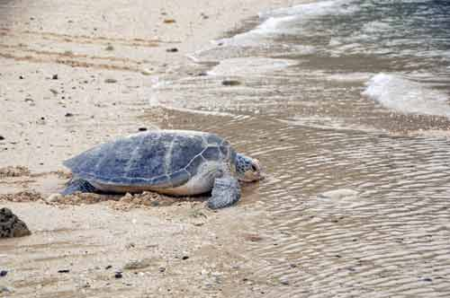 beach turtle-AsiaPhotoStock