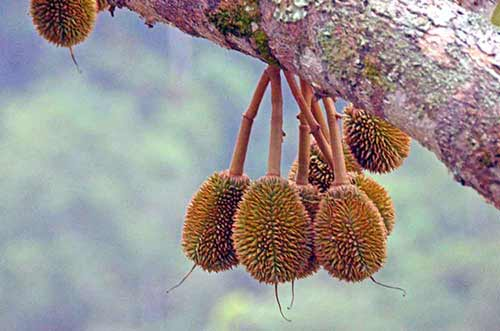 durians very small-AsiaPhotoStock
