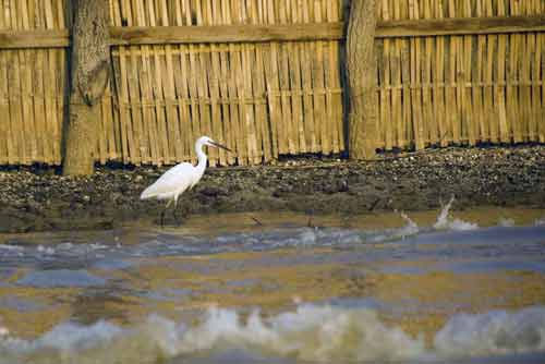 egret at inle-AsiaPhotoStock