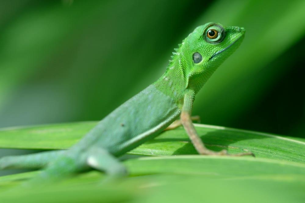 AsiaPhotoStock, green crested lizard