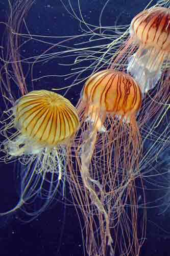 jelly fish resorts world-asia photo stock