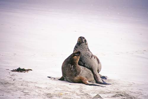 Sea lions mating - photo#12