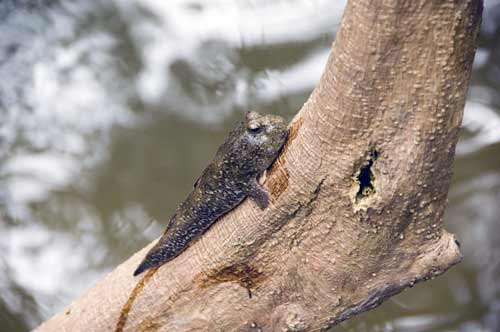 mud skippers on tree-asia photo stock