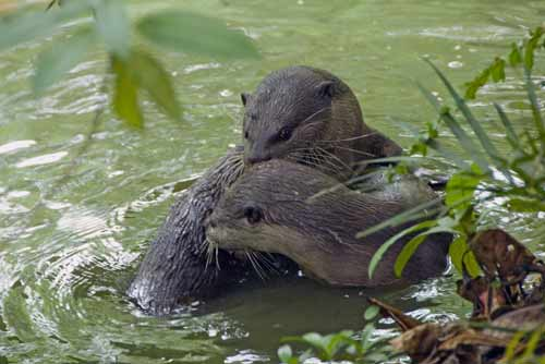 otters playing singapore-asia photo stock