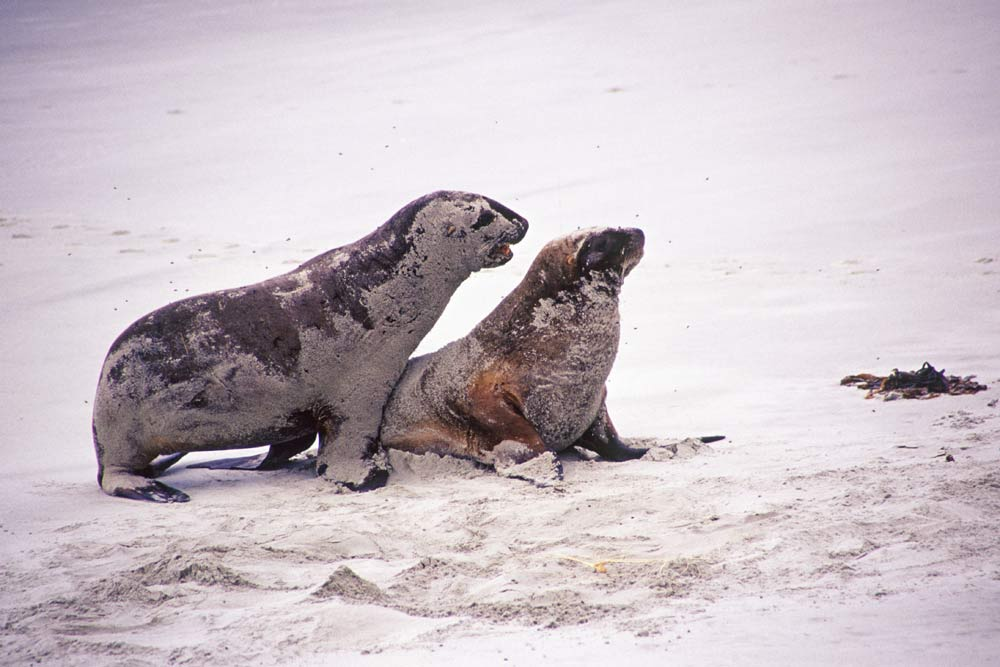 Sea lions mating - photo#4