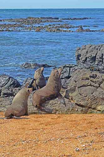 seals at moeraki-AsiaPhotoStock