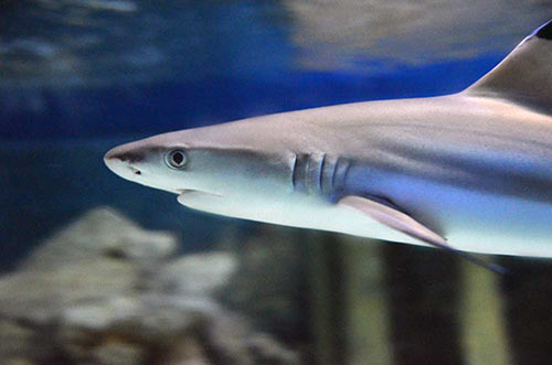 shark black tip-AsiaPhotoStock