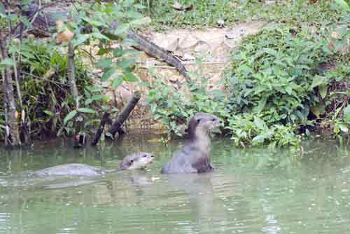 smooth otters in water-asia photo stock