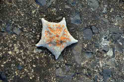 japanese starfish-AsiaPhotoStock