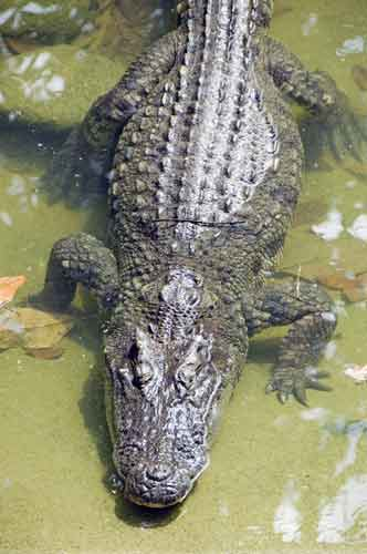 thai_crocodile7277.jpg