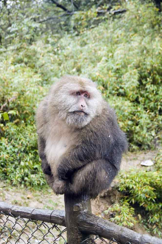 Monkey Macaque