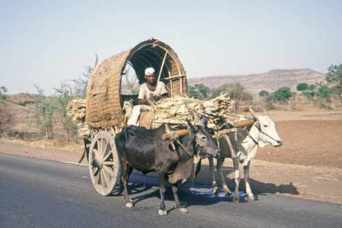 bullock transport-asia photo stock