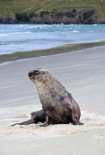 victory beach sea lion-AsiaPhotoStock